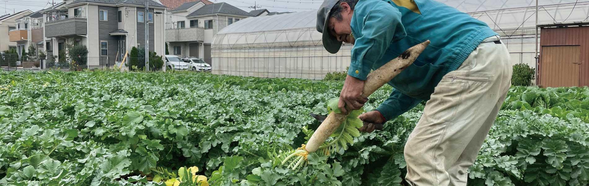 練馬大根の収穫